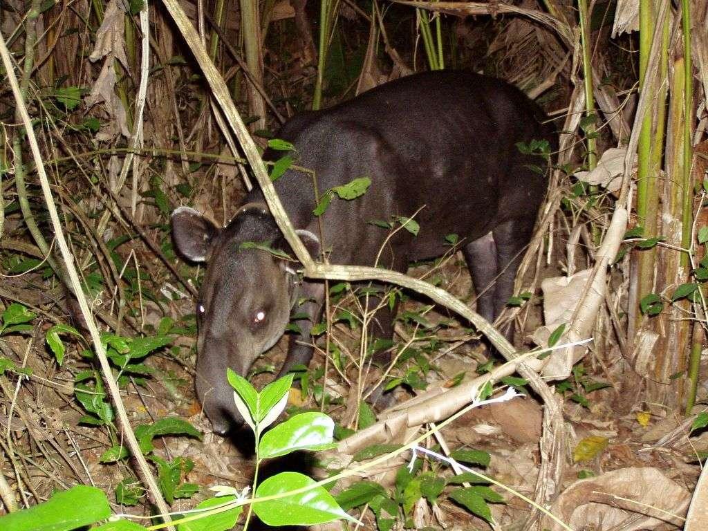 Danta - Tapir