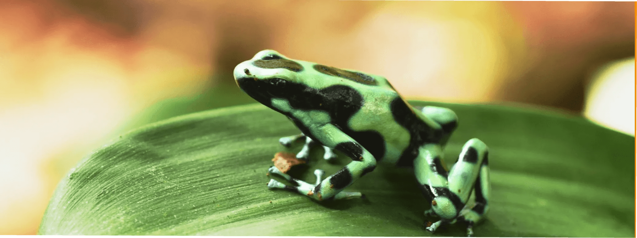 The green-black poison frog