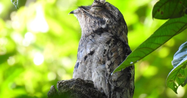 pajaro estaca, common potoo