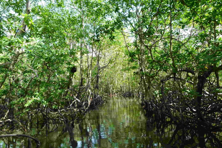 Mangroven, Manglar Sierpe, Osa Costa Rica