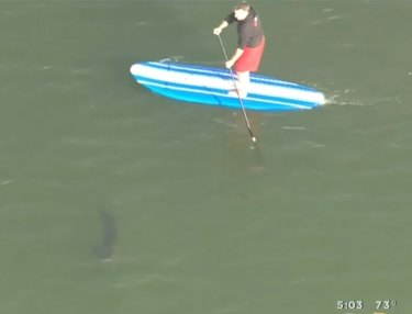 Watch Sheriffs Warn Paddleboarder He's Surrounded By Great White Sharks