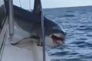 Mako Shark Jumps On Fishing Boat