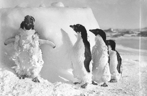Adelie_penguin_chicks_molting