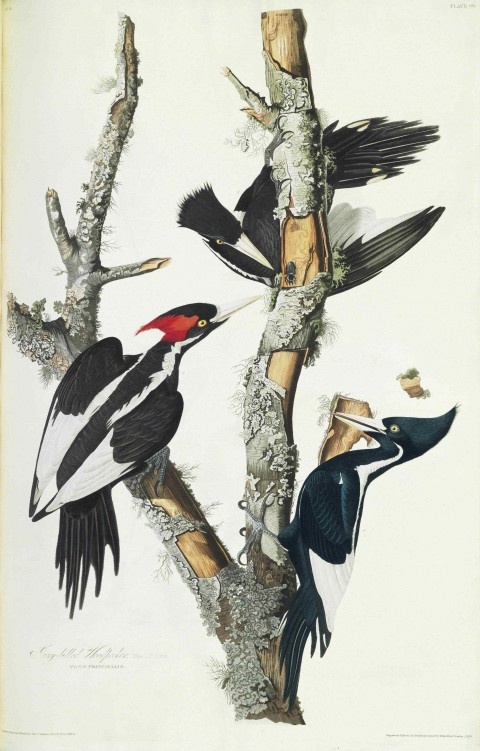 66_Ivory-billed_Woodpecker_(Duke_of_Portland_Audubon_edition)