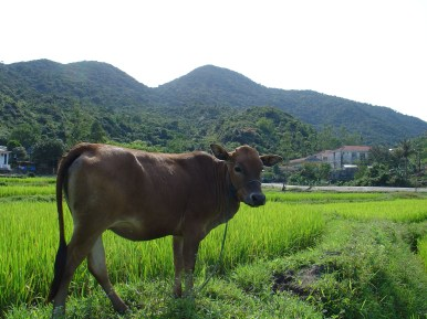 A cow next to a rice field.