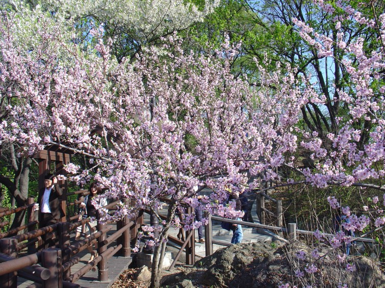 Apparently they have cherry blossom season in Seoul.