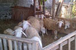 cara penggemukan kambing yang efektif