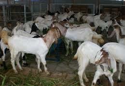 kelebihan pakan fermentasi untuk penggemukan kambing