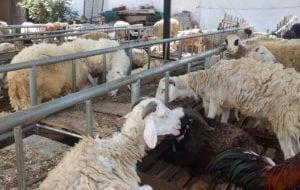 catering paket aqiqah di bogor termurah dengan kambing bebas prengus