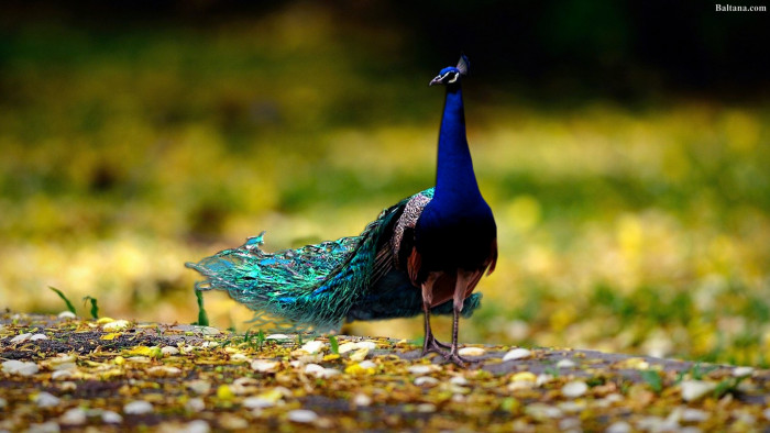 Peacock Background Hd Wallpapers 31680 Baltana