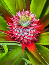 Young pineapple in the farm, Bario. Note the vibrant color.