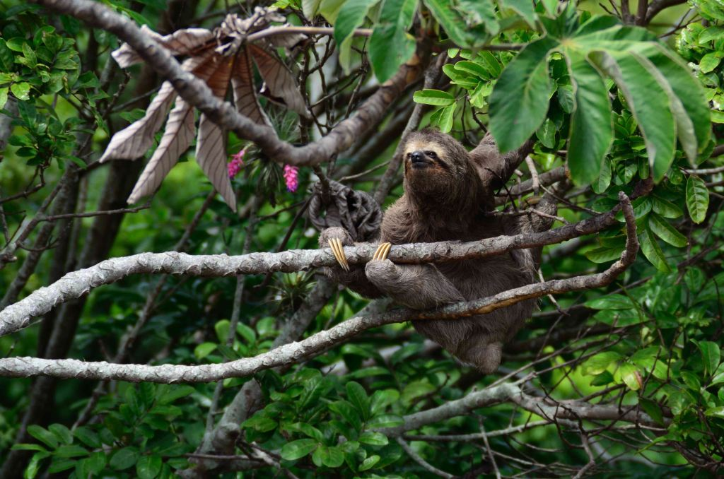 A three toed sloth high in the tree tops