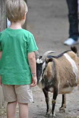 bimbo davanti a capra