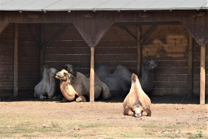 Leo Wild Park, i cammelli