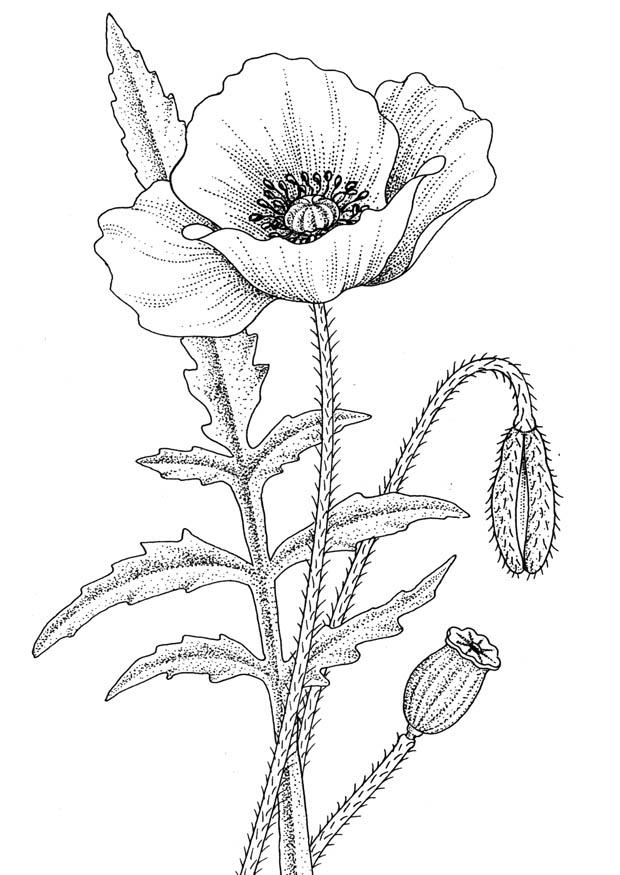 lotus in water plant diagram champion 8000 lb winch wiring disegno fiore da colorare..fiore di papavero colorare..fiorellino colorare per bambini ...