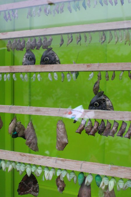 The butterflies emerging from their chrysalises in the hatching window.