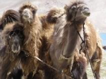 Kamele am Karakulsee