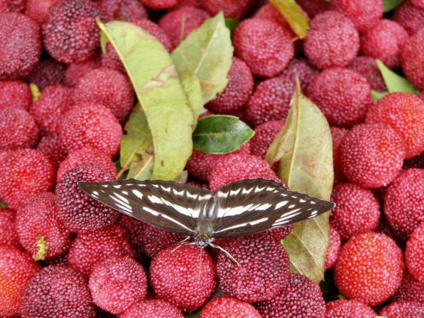 China: Schmetterling Common Sailor (Neptis hylas) auf roten Lychees.