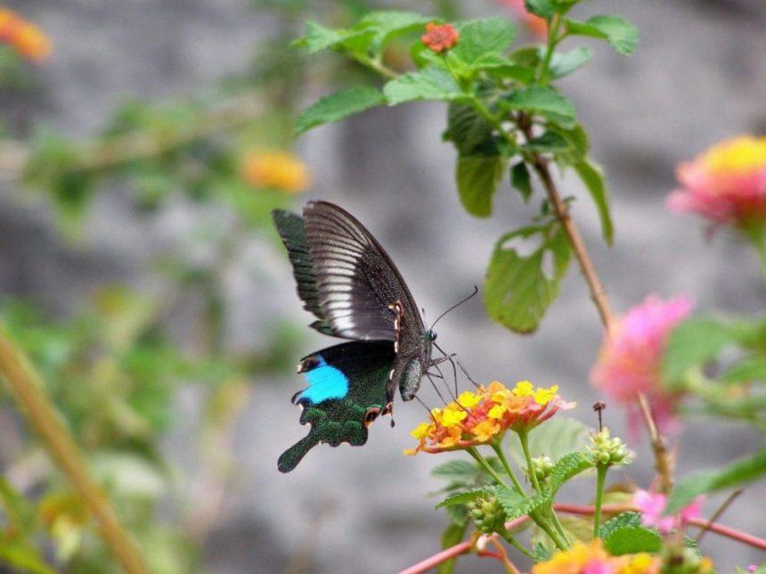 Schmetterlinge in China
