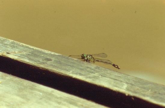 93 Fluss Libelle