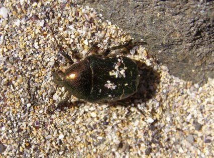 Käfer 2