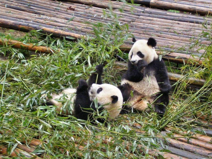 Pandab#ären fressen am liebsten Bambus
