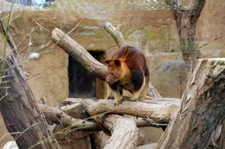 Baumkänguruh im Duisburger Zoo