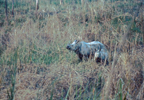 Chitwan Nationalpark Nashörner