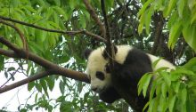 Panda Kind im Baum