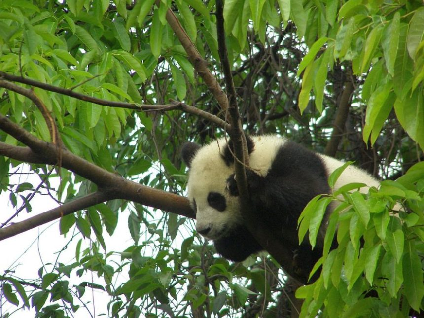 Panda im Baum
