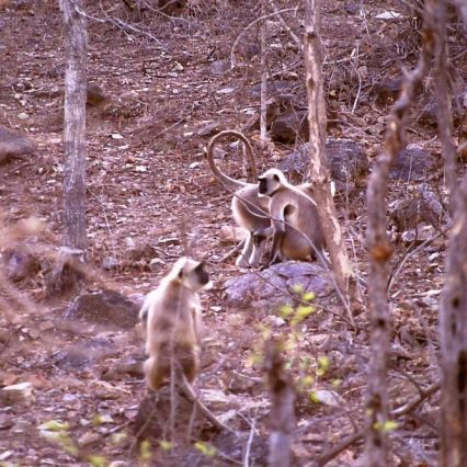 Affen im Panna-Nationalpark