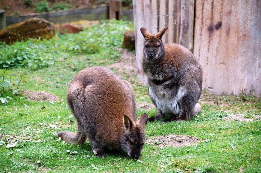 Känguruhs im Erlebniszoo Hannover