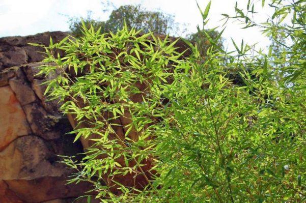 Bambus 3 - Kopie