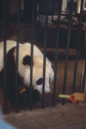 Pandas 1987 in Chengdu