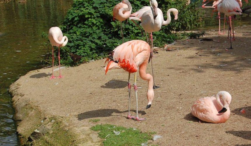 Flamingos Hannover