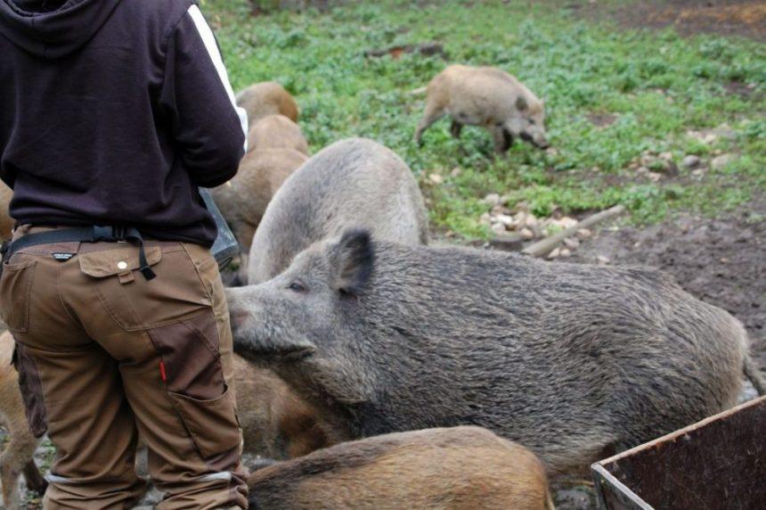 Fütterung der Widlschweine