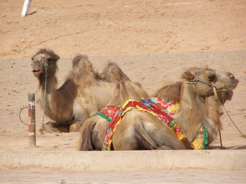 Seidenstraße Kamele in der Taklamakan Wüste