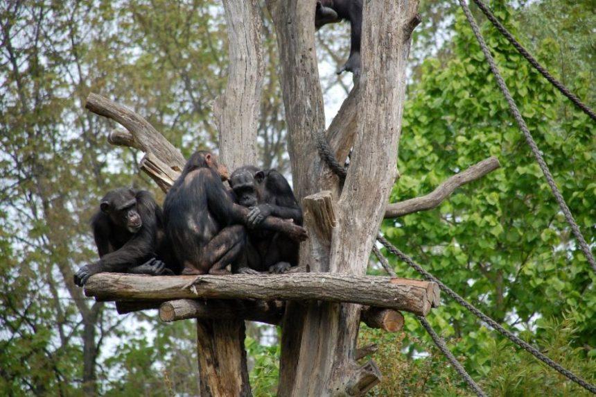 Bonobo-Familie