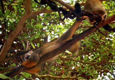 Totenkopfäffchen im Zoo Leipzig
