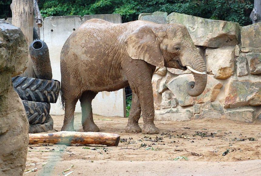 Zoo Dresden Elefant