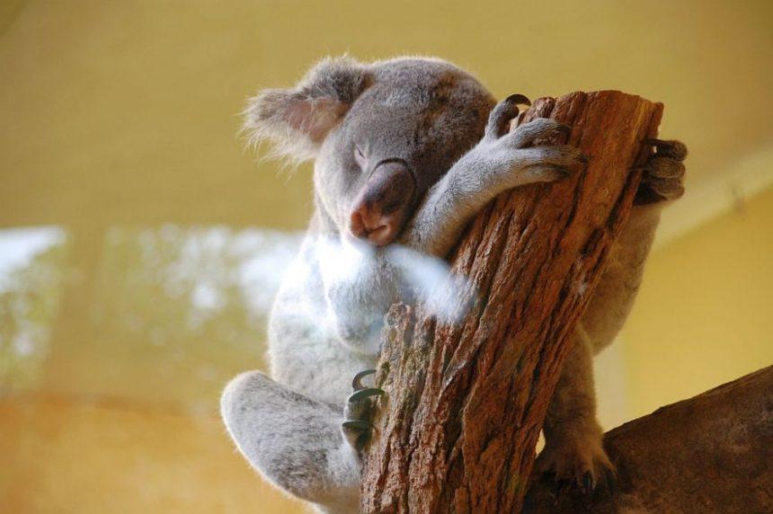 Zoo Dresden - Koala