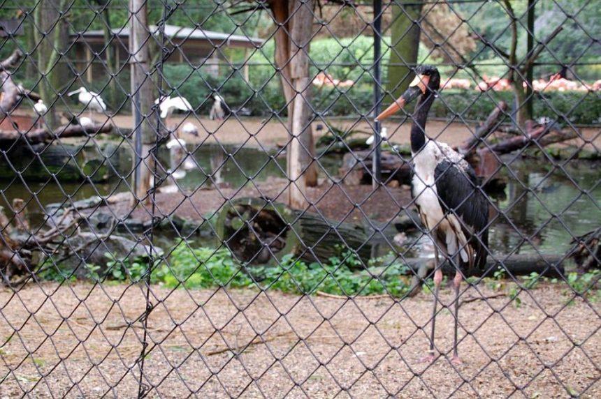 Zoo Dresden - Nimmersatt, ein Storchenvogel aus Afrika