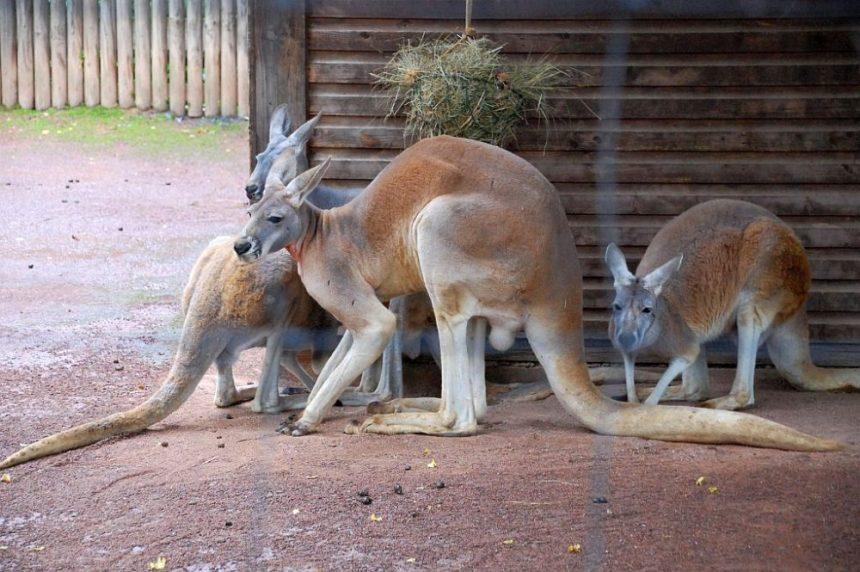 Zoo Dresden - Rotes Riesenkänguruh