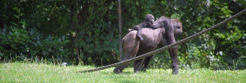 Afi Mountain Gorilla Mutter mit Kind auf dem Rücken