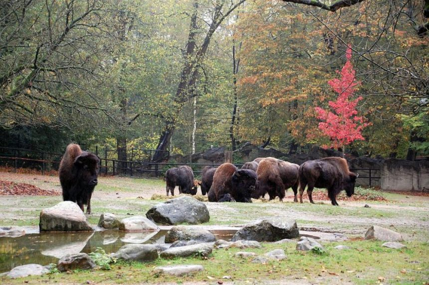 Bisons im Regen