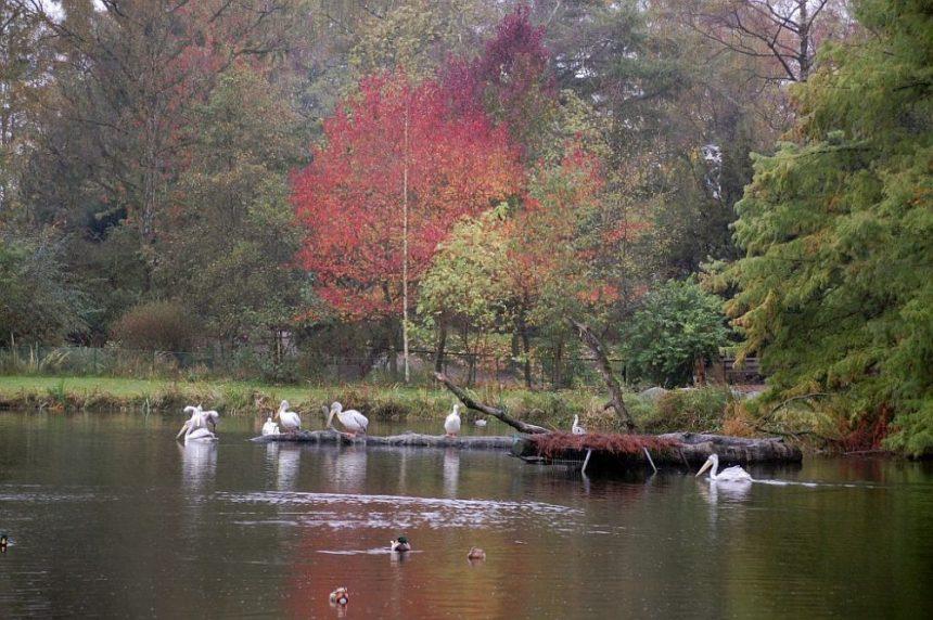 Hagenbeck bei Regen Birma Teich mit Pelikänen