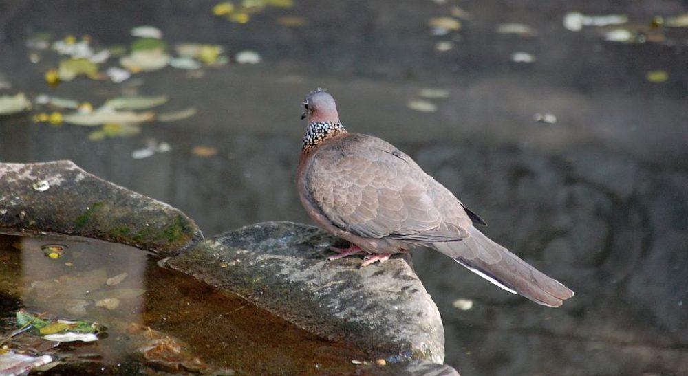 Taube im Daxingshan Tempel, auf einem Brunnenrand sitzend.