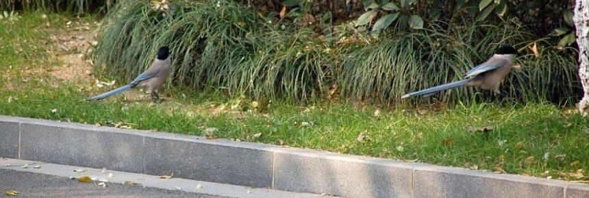 Blauelster im Park