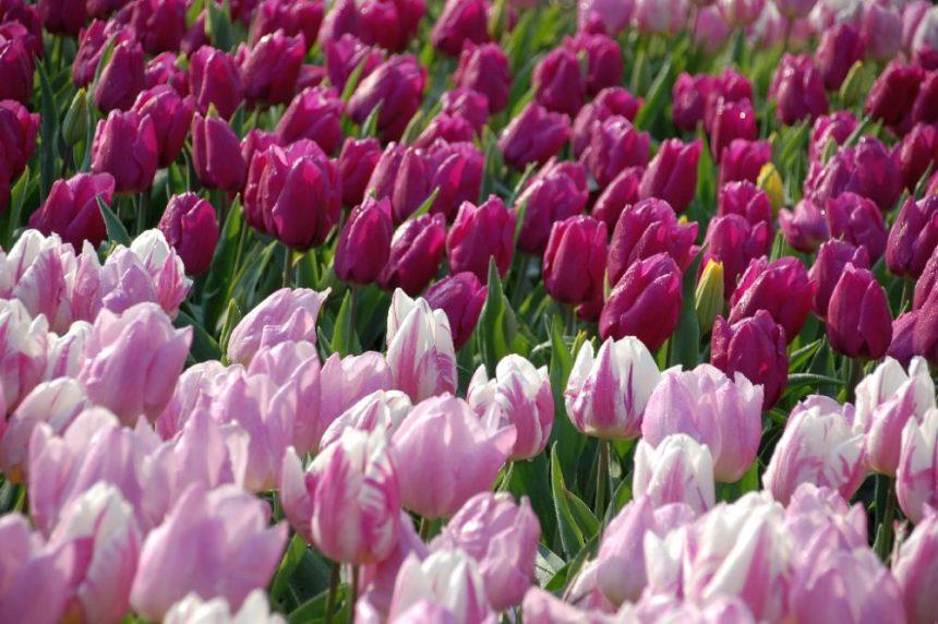 Tulpen im Keukenhof