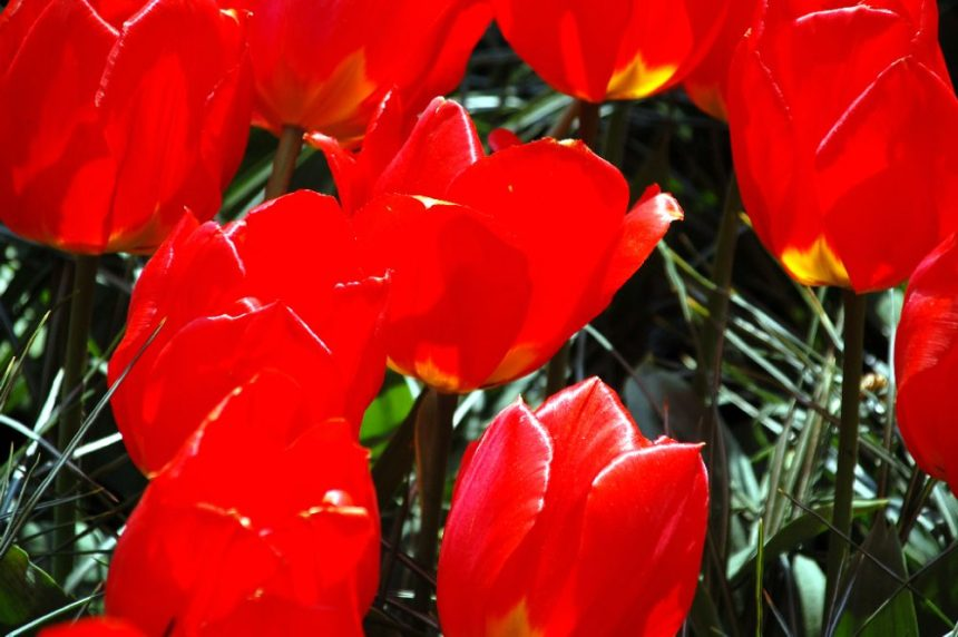Keukenhof rote Tulpen